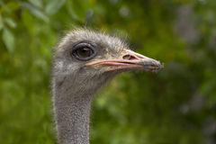 The head of the ostrich. Stock Photo