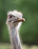 Head of  ostrich emu Stock Photo