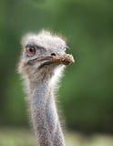 Head of  ostrich emu. Close up Stock Photo
