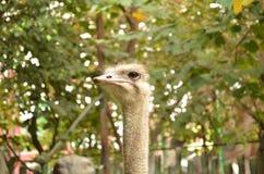 head ostrich royaltyfria foton
