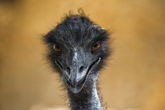Head of the ostrich is looking forward stock images