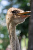 Head of ostrich in nature background Stock Photos