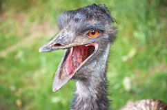 The head of an ostrich with open beak Stock Photos