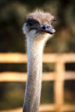 Head of ostrich Royalty Free Stock Images
