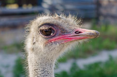 Head of the ostrich Stock Photo