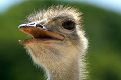 The head of an ostrich. Portrait. Close-up on a green background. Eye, beak and neck of an ostrich. Semi-profile Stock Photography