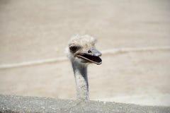 head ostrich s Arkivfoton