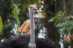 Head of ostrich Royalty Free Stock Photography