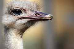 Head of an ostrich (Struthio camelus) Stock Photos