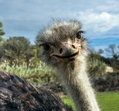 Head of ostrich in zoo Royalty Free Stock Images