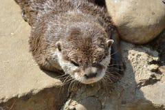 Head of Otter Stock Photos