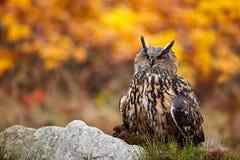 head owl Πορτρέτο προσώπου λεπτομέρειας του πουλιού, των μεγάλων πορτοκαλιών ματιών και του λογαριασμού, μπούφος, bubo Bubo, σπάν Στοκ Εικόνα