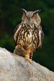 head owl Πορτρέτο προσώπου λεπτομέρειας του πουλιού, των μεγάλων πορτοκαλιών ματιών και του λογαριασμού, μπούφος, bubo Bubo, σπάν Στοκ Φωτογραφία