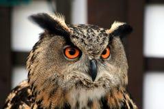head owl Royaltyfria Bilder