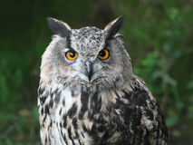 Head of owl Stock Images