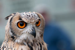Head of  owl Royalty Free Stock Photo