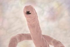 Head of a parasitic hookworm Ancylosoma Stock Image