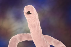 Head of a parasitic hookworm Ancylosoma Stock Photos