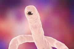 Head of a parasitic hookworm Ancylosoma Stock Images