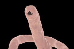 Head of a parasitic hookworm Ancylosoma Royalty Free Stock Photography