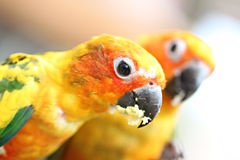 Head of parrot is eating foods on tree branch. Royalty Free Stock Images