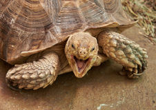 The head and part of the shell African Spurred Tortoise Stock Photography