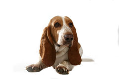 Head and paws of cute basset hound dog Stock Photography