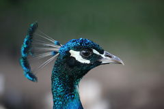 A head of Peacock Royalty Free Stock Images