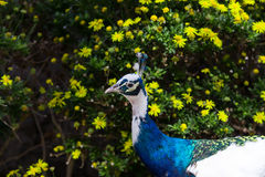 Head of peacock with blue and white plumage. On background of bush with yellow flowers Stock Photography