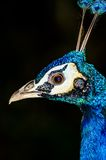 Head peacock Royalty Free Stock Photos