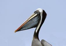 Head of Pelican Royalty Free Stock Photo