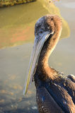 Head pelican Royalty Free Stock Photography