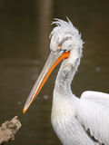 Head of pelican bird Stock Images