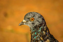 Head of pigeon Royalty Free Stock Images