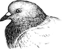 Head of pigeon Stock Photos