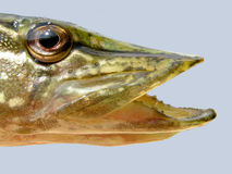 Head pike. Toothed jaws of a pike Stock Photography