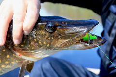 Head pike with artificial bait crank, in the hands of the angler Stock Image