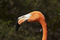 Head of a Pink Flamingo Stock Images