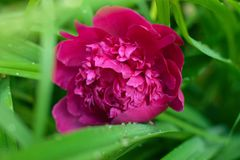 Head of a pink peony flower Sarah Bernhardt. Close up. Natural green background. stock photography