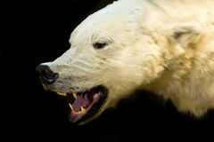 Head of polar bear stock images