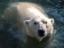 The head of the polar bear, bathing in water. royalty free stock image