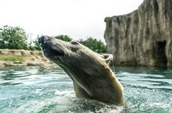 Head of Polar bear Ursus maritimus above water. Polar bears are excellent swimmers and often will swim for days. They may swim underwater for up to three stock photos