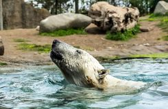 Head of Polar bear Ursus maritimus above water. Polar bears are excellent swimmers and often will swim for days. They may swim underwater for up to three stock photo