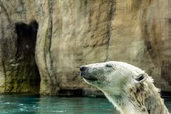 Head of Polar bear Ursus maritimus above water. Polar bears are excellent swimmers and often will swim for days. They may swim underwater for up to three stock image