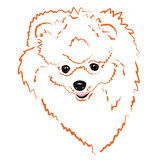 Head Pomeranian Royalty Free Stock Photography