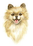 Head of the Pomeranian. Pomeranian spitz-dog. Image of a thoroughbred dog. Watercolor painting Stock Photo