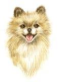 Head of the Pomeranian Stock Photo