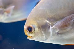 Head of silver Pompano fish. Head of Pompano. Silver fish with long yellow fins in marine aquarium Royalty Free Stock Images