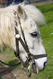 Head pony. A little pony look out from inside the metallic fence just with harness on muzzle Stock Photography