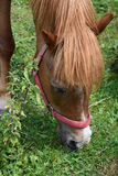 Head pony. Horse on pasture eating grass Royalty Free Stock Photography